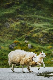 Sheep and lamb crossing the road