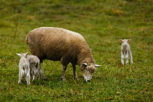Sheep and lambs in alpine pasture in the swiss alps