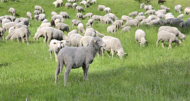 Sheep in livestock grazing in spring