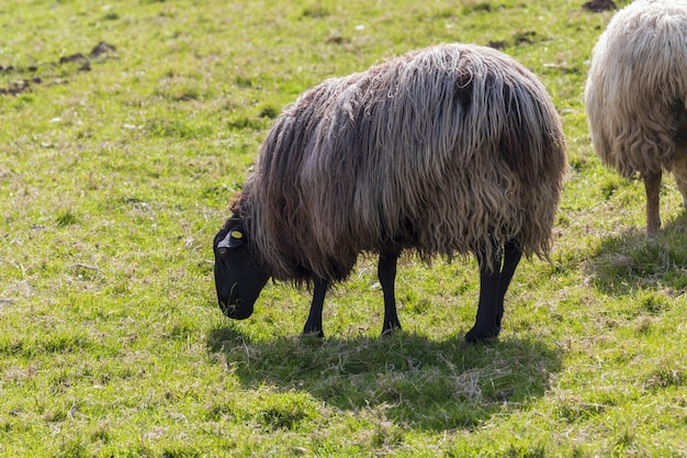 Sheep of long hair (wool) of black and white color. cantabria.