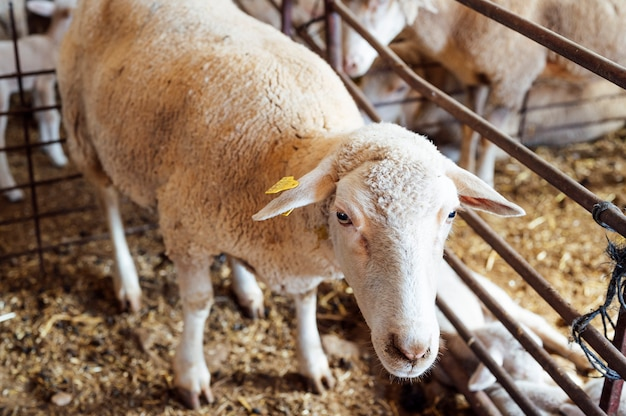 馬小屋で見ている羊