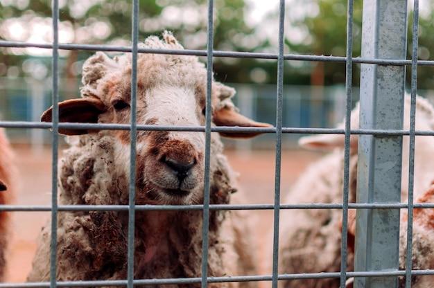양 농장에서 목장의 메쉬를 통해 프레임을 들여다봅니다. 초상화. 포유류는 동물원에 있습니다. 배고픈 동물들. 선택적 초점입니다.