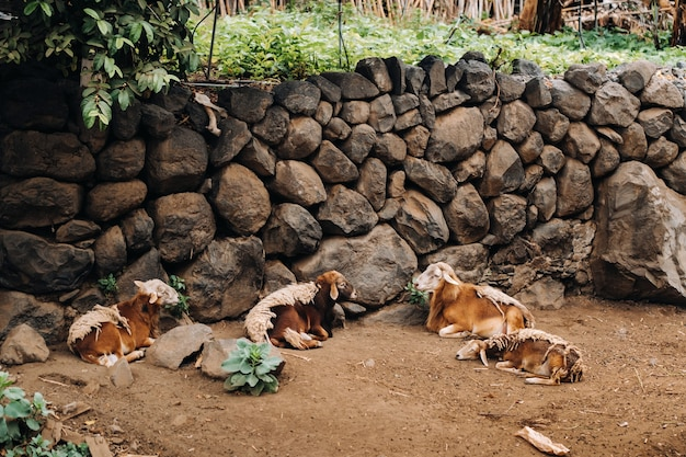 Sheep mostly rest on the island of tenerife. sheep in the canary islands.