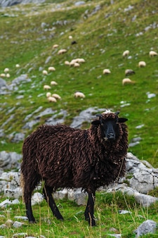 Sheep on the mountain fields.