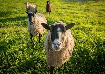 Sheep on a green grass