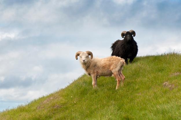 ミキネスの羊、フェロー諸島