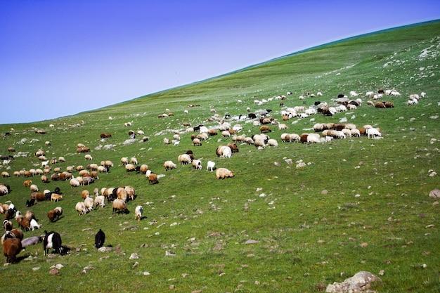 丘の上の羊は草を食べる