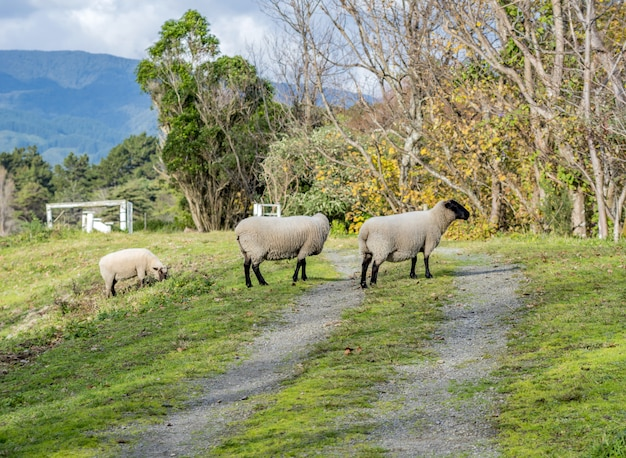 Sheep pasturing in a beautiful rural area with mountains