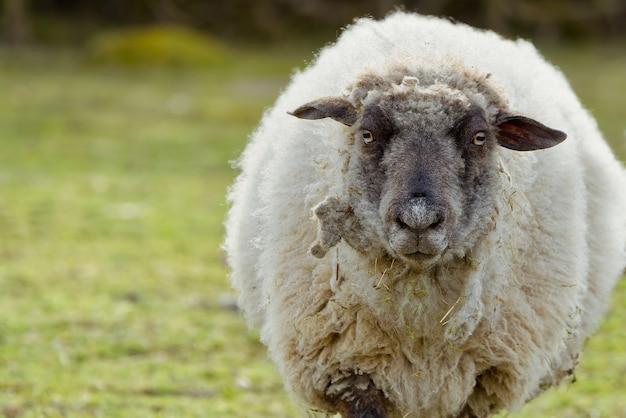 Овцы портрет необрезанные овцы в весеннем поле овцы, глядя в камеру, фермерство, концепция бесплатного выпаса скота