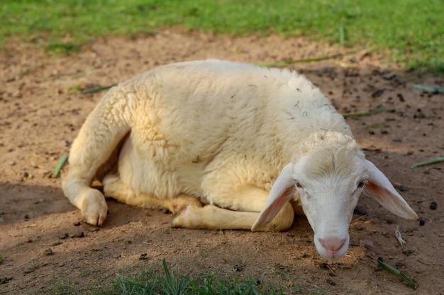 Sheep rest on land in garden at thailand