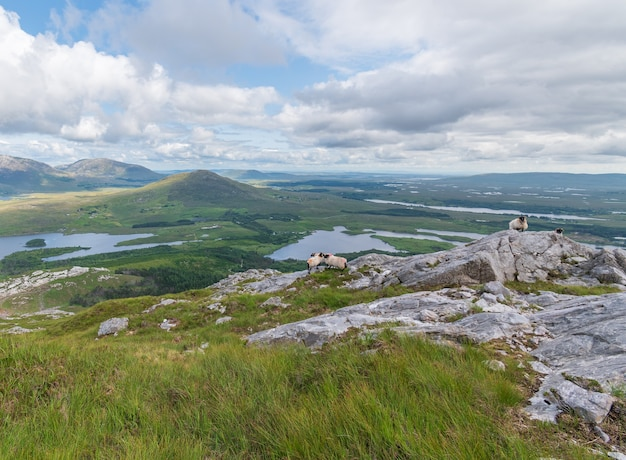 Sheep on the rocks inwith beautiful landscape view from the summit of derryclare mauntain.