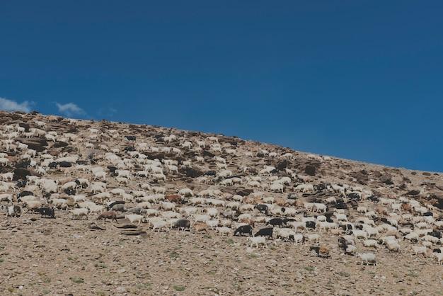 Sheep rocky terrain clear sky
