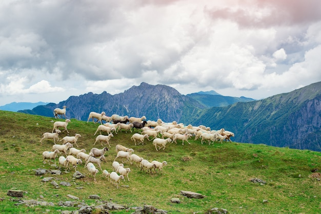 Овцы бегают по зеленым горным пастбищам
