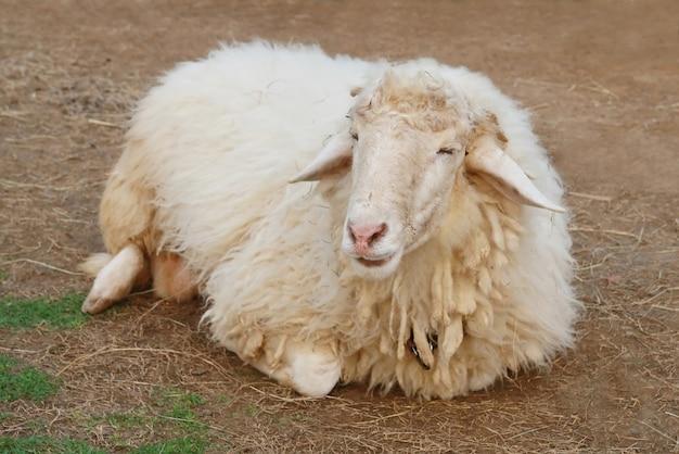 Sheep on soil ground