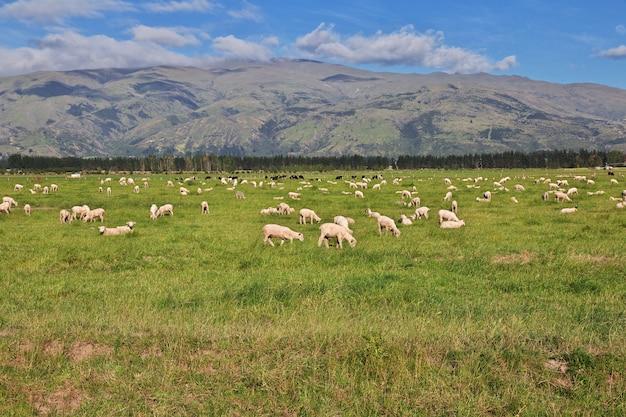 Sheep on south island, new zealand