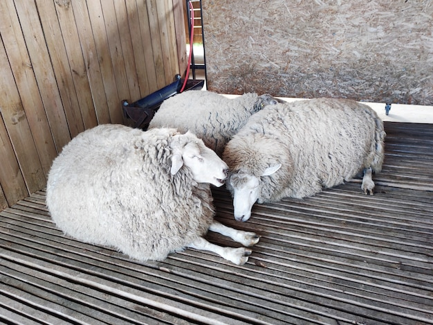양 안정. 헛간에서 양 가축의 그룹 사육 및 식품 생산입니다. 양모 생산. 양들이 헛간에서 자고 있습니다.