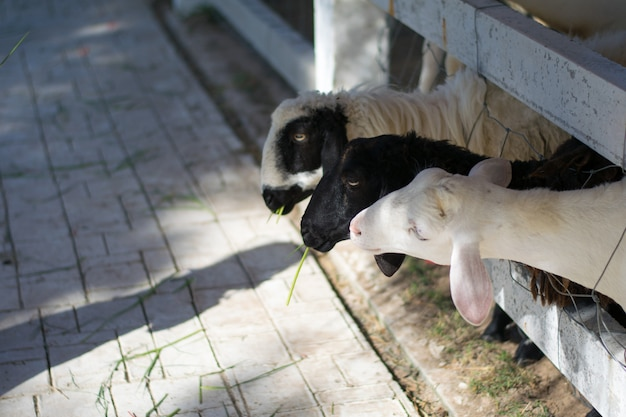 Sheep in stable