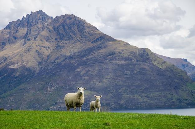 뉴질랜드의 호수 근처 풀밭에 서 있는 양
