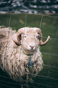 Sheep behind steel fence in a farm field