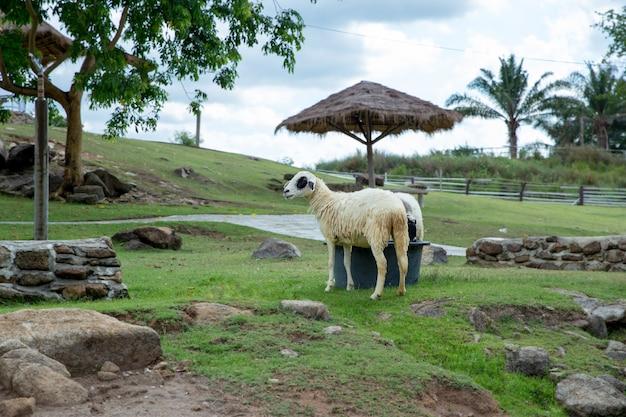 Sheep in the thai farm house