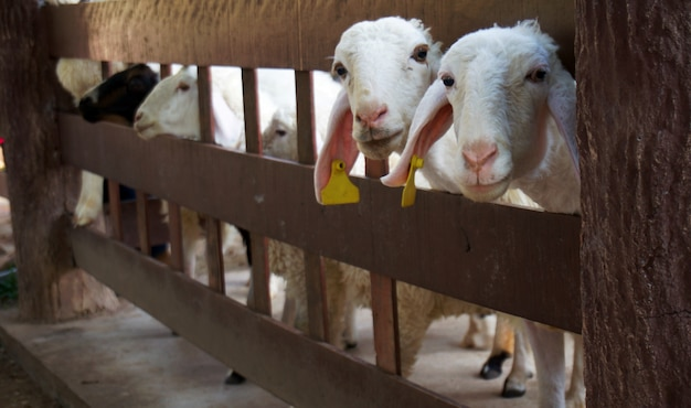 Sheep in their stable.