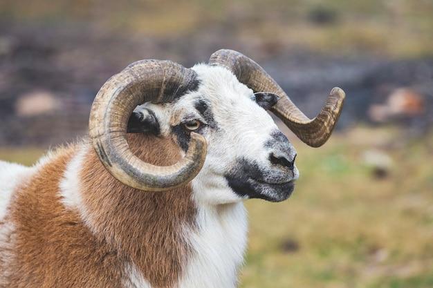 ぼやけた背景に大きな渦巻く角のある羊_