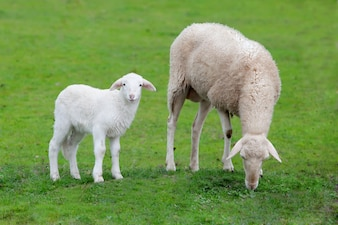 Sheep with her calf grazing