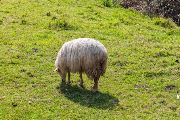 Овцы с длинными волосами (светлая шерсть) белого цвета. кантабрия.