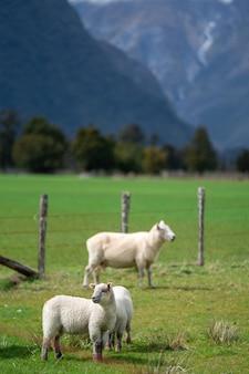 自然の風景と羊
