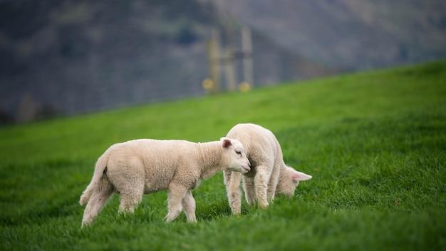 自然な景色の羊