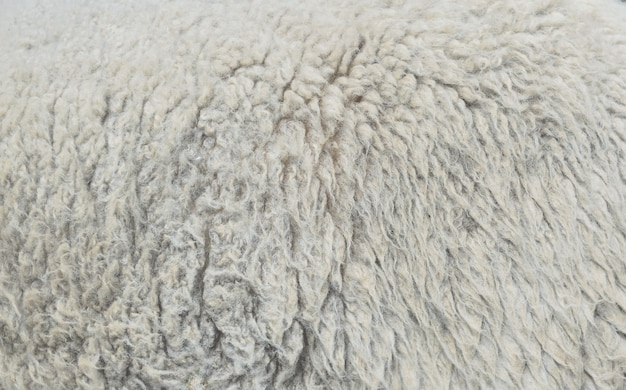 Sheep wool texture background closeup