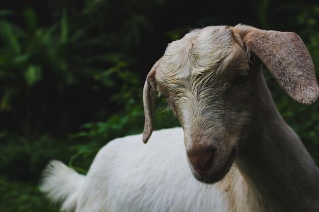 Овца Бесплатные Фотографии