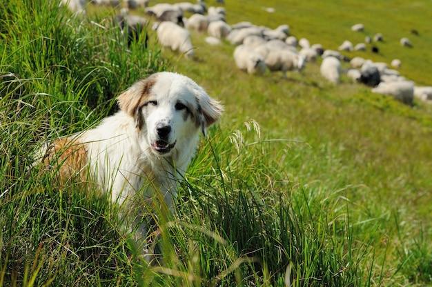 羊の群れを守る羊犬