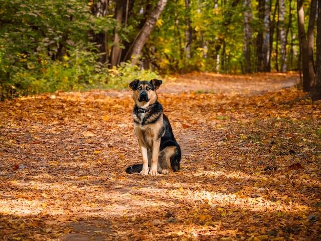 牧羊犬は秋の森の路地に座っています。
