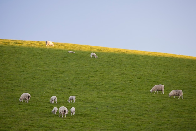 Sheeps in the field eating grass