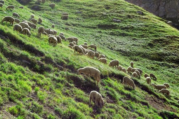 羊が丘の上に群がります。イタリア、アブルッツォ