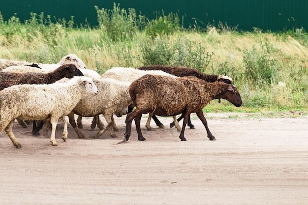 Овцы идут на пастбище.