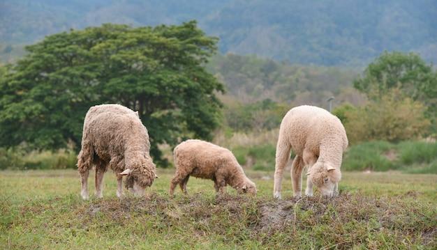 국가 녹색 분야에서 방목하는 양