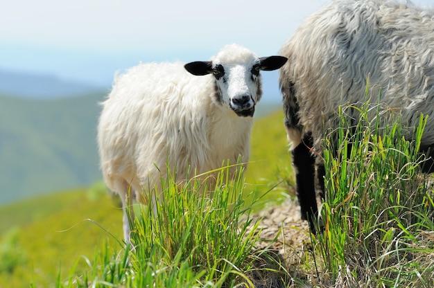 山々の中の牧草地の羊。夏の風景