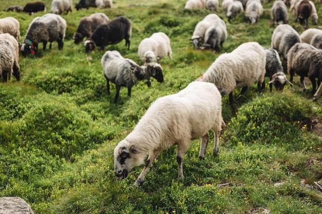 푸른 잔디에 풀밭에 양입니다. 언덕에서 방목 하는 양 떼입니다. 고지대 들판의 유럽 산 전통 목양, 아름다운 자연