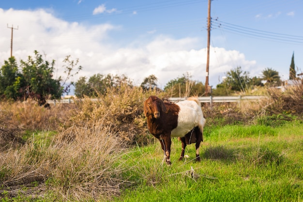 Овцы в природе зелёный луг
