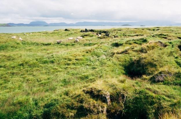 Овцы в пастбища