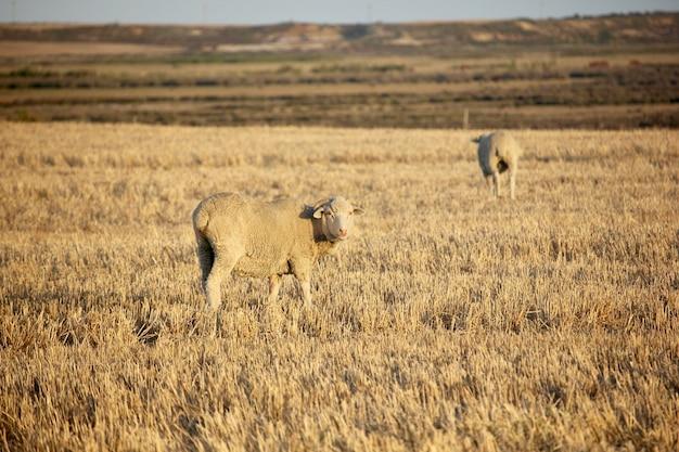 Овцы на закате солнца