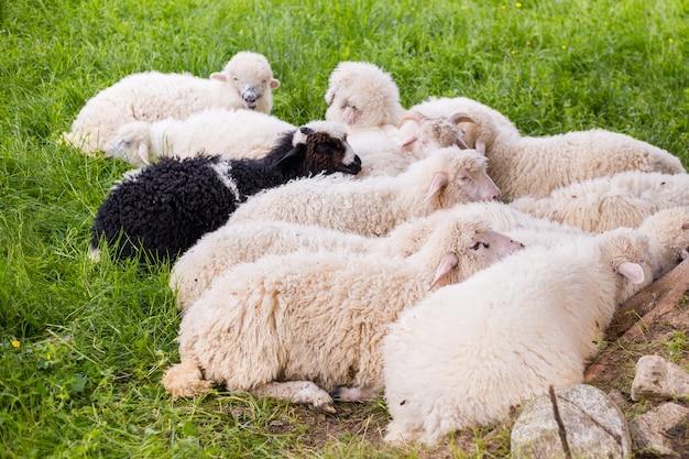 Овцы лежат и отдыхают в тени на лугу