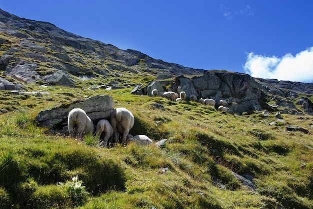 Sheeps on the trail in swiss mountains in summer
