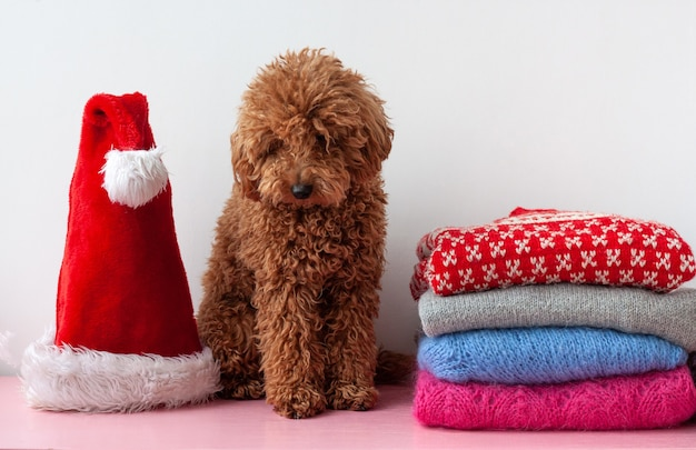On the shelf next to a stack of christmas, new year's sweaters, a small poodle is sitting and there is a santa claus hat.