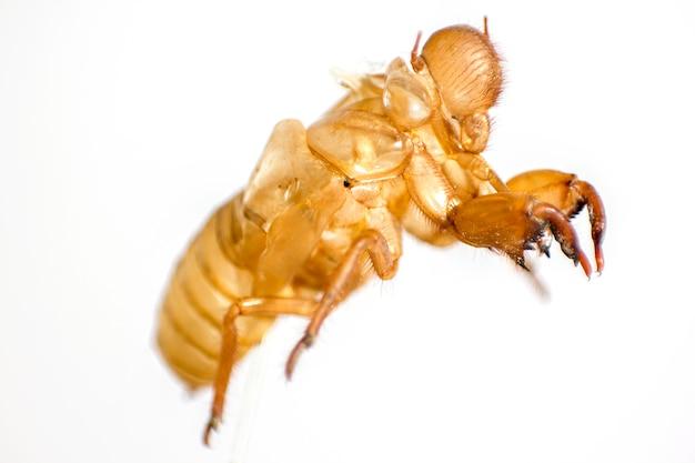 Shell of cicada on white background