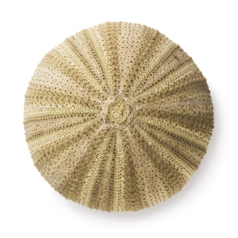 Shell of sea hedgehog of rounded shape isolated on white background