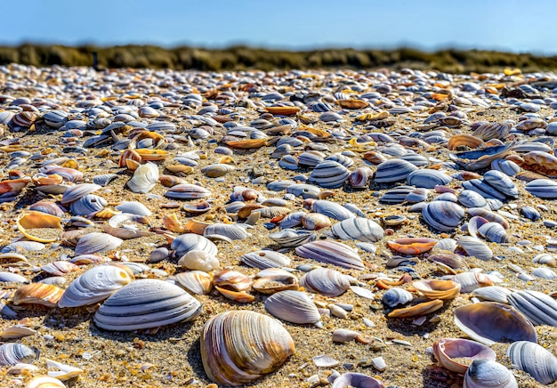 ハーグの北海沿岸のクローズアップの貝殻