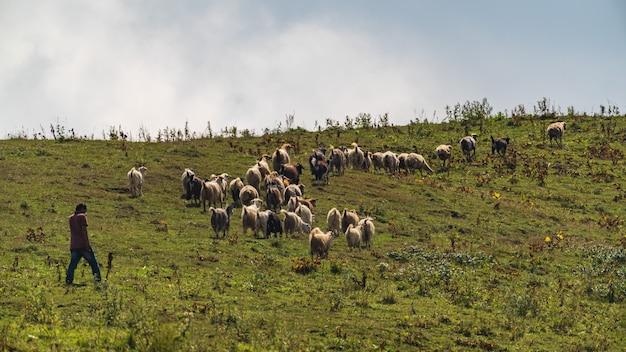 산비탈에서 방목하는 양치기와 양떼